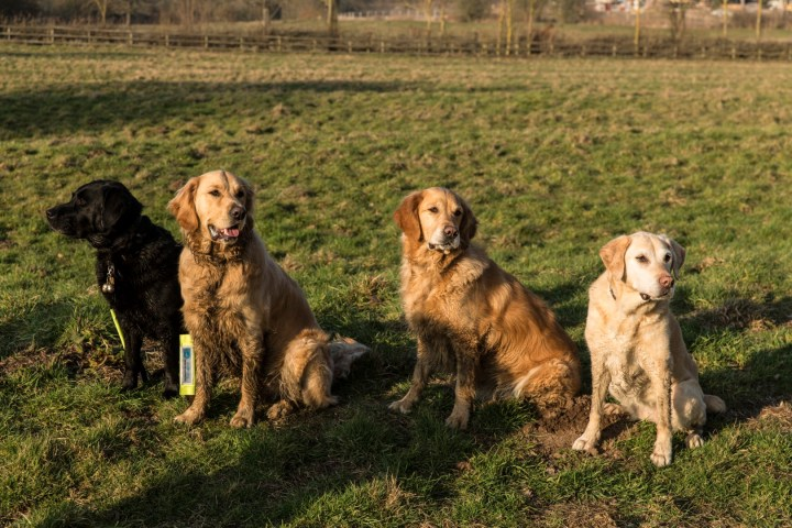 L to R - Slipper, Teddy, Maisie and Quizzie all sitting on grass with a huge expanse of field behind them. They are all a bit muddy and very happy after a great freerun playing together