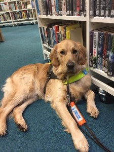 Golden Retriever lying down, with all long legs stretched out, on a grey carpet, in front of white shelves full of books. He is looking straight at camera, wearing his brown Guide Dogs training harness with yellow chest band, and has the orange 'Guide Dog in Training' flash on his lead, which is laid out straight ahead of him, between front legs