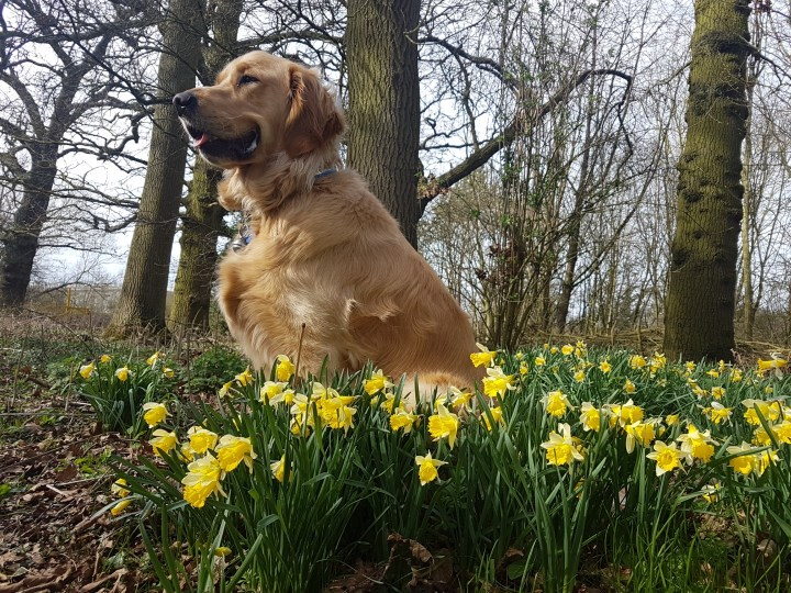 Teddy sitting amongst a big patch of daffodils. He is looking toward the left hand side of the picture with a 'smile' on his face. In the background are lots of trees