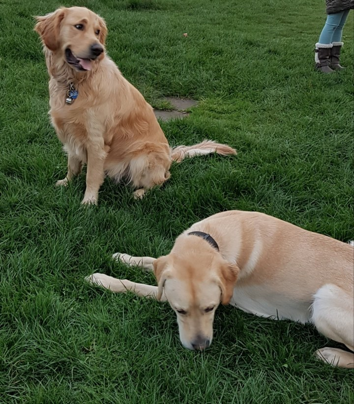 Teddy sitting on grass with Gizmo 15 month old yellow lab x retriever lying down beside him. Teddy is looking off to his left and Gizmo is sniffing the grass beside his left shoulder