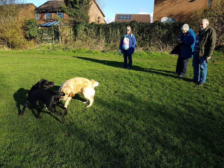 Teddy and Teddy playing with Mummy plus Irene and Pat (puppywalkers) watching