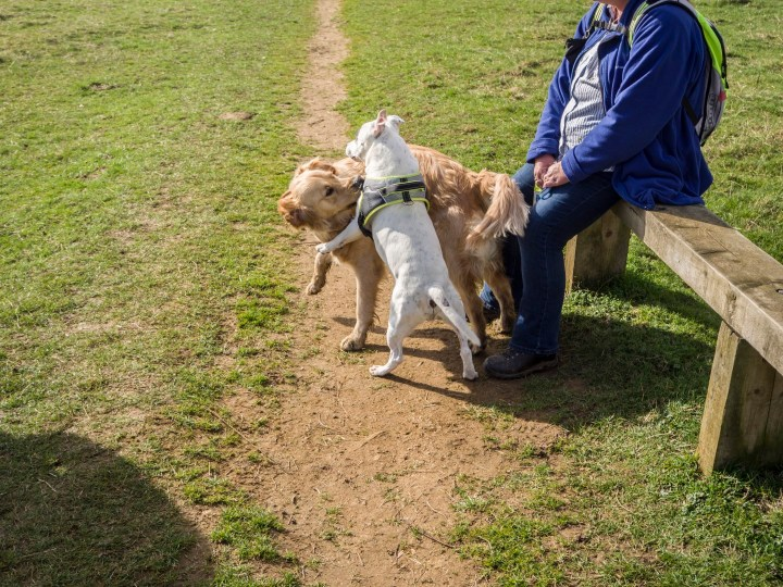 Teddy and Khan, a white staffie, playing by Ma who is sitting on a bench in a field