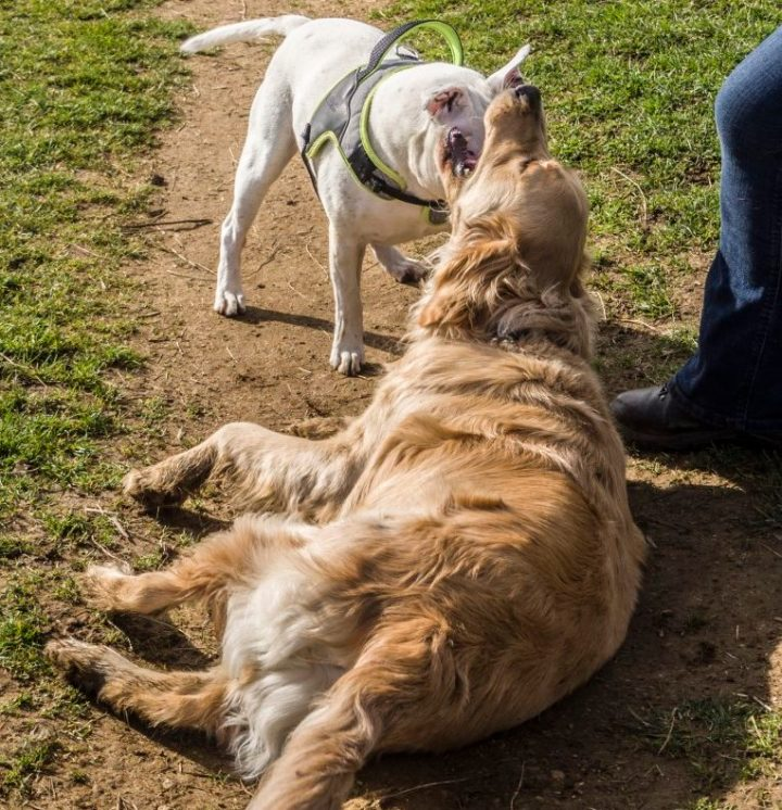 Teddy lying down in a field with Khan standing by his head. They are mouthing each other in play