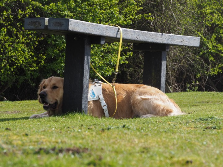 Teddy lying on grass in harness, under a wooden bench seat