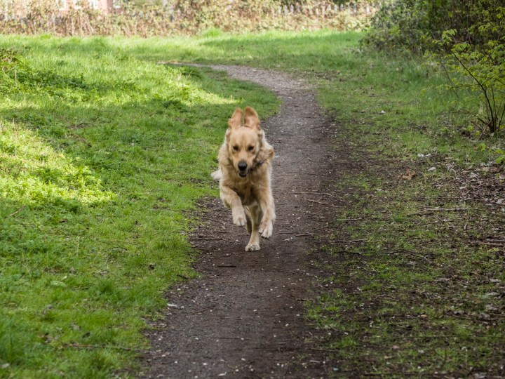 Teddy in full flight! Running at full speed toward camera, along a packed-earth path with grass either side. His ears are flapping upward and all four paws are off the ground