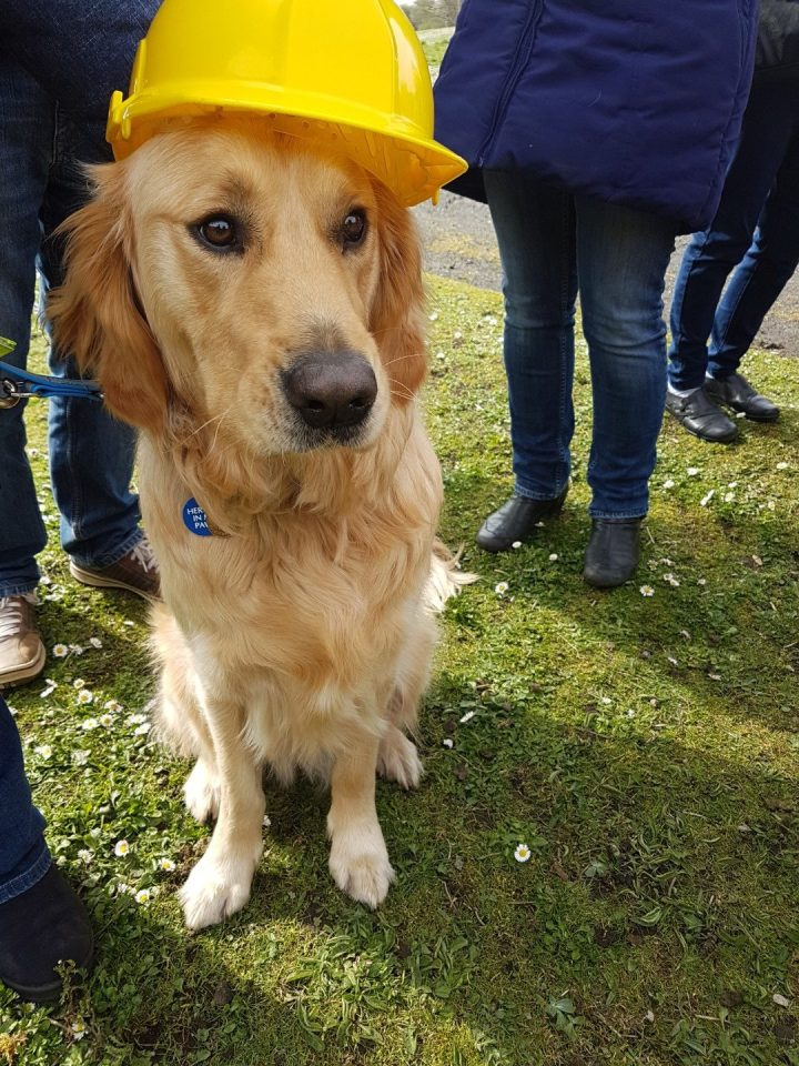 Close up shot of Teddy sitting on grass with a yellow hardhat on his head