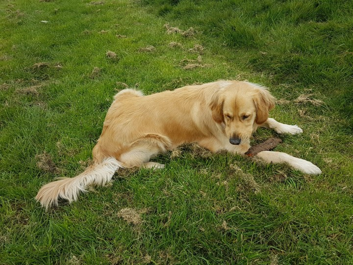 Teddy lying on lush grass chewing a chunk of wood that he found