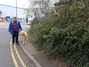 Teddy working on harness on a very narrow stretch of pavement where the bushes are very overgrown, making the pavement only just wide enough for him to walk. Mummy is beside him walking along the line of the double yellow lines