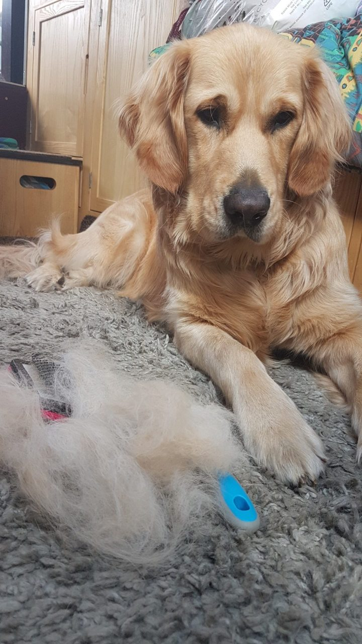 Teddy lying on grey rug facing camera, with grooming rakes and a huge pile of golden fur in front of him
