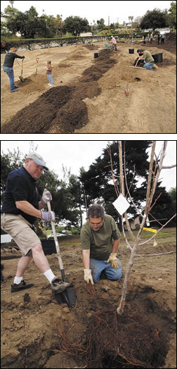 At top, Volunteers from the church and community turned out Sunday to dig holes, haul mulch and plant trees at Mesa Harmony Garden. Randy Saake backfills around a tree as Larry Saltzman, member of the Permaculture Guild of Santa Barbara, lays the roots out.