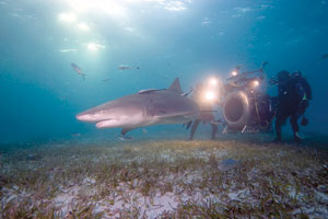 """Howard Hall and IMAX 3D crewfilm Lemon Shark,Ginglymostoma cirratum, in the Bahamas for """"Under the Sea 3D."""" Michele Hall photo"""