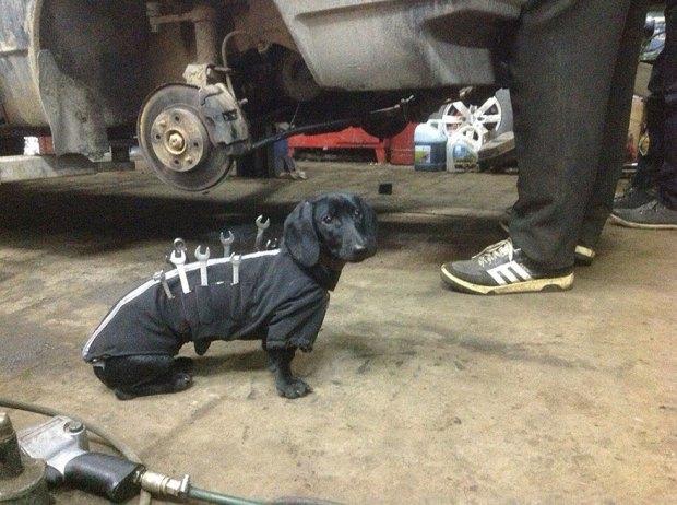 tool-dog-dachshund-suit-auto-mechanic-24