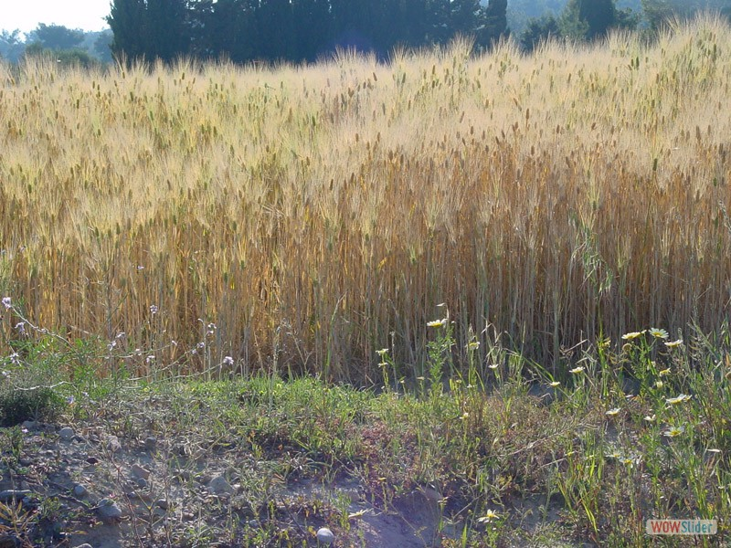 Getreide im Mai