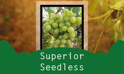 Superior Seedless
