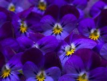 belle-viole-selvatiche-52788315