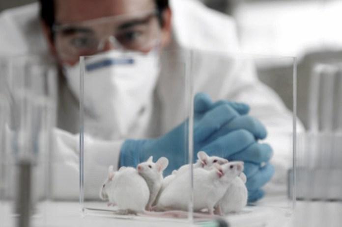 Una única dosis de CoroVaxG.3 aplicada en ratones fue capaz de estimular una respuesta inmune duradera contra el virus.