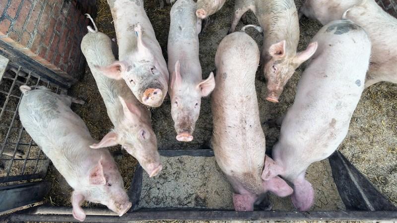 Argentina exportó el año pasado, 25.877 toneladas de carne de cerdo al mundo por un valor total de 55,88 USD millones.