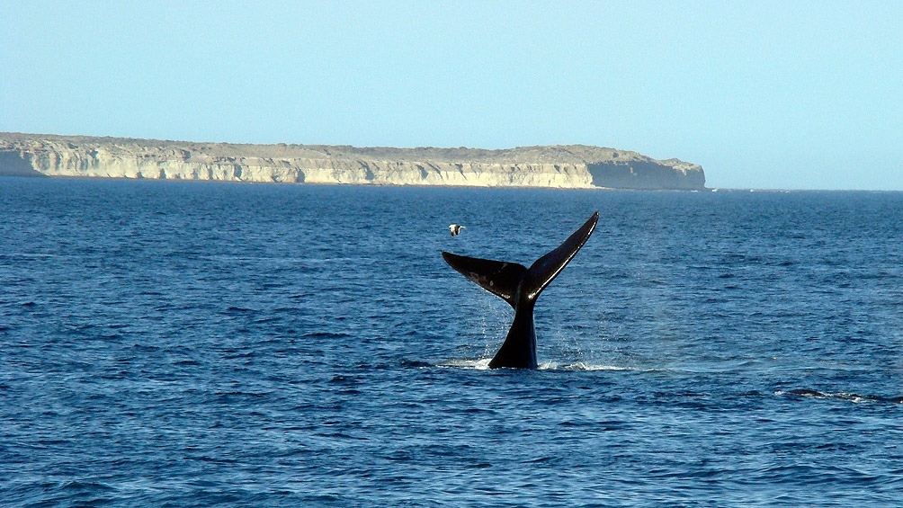 Avistaje de Ballenas en Puerto Madryn.