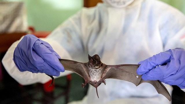 Los expertos se inclinan por la teoría de que el virus se transmitió de un primer animal, probablemente un murciélago