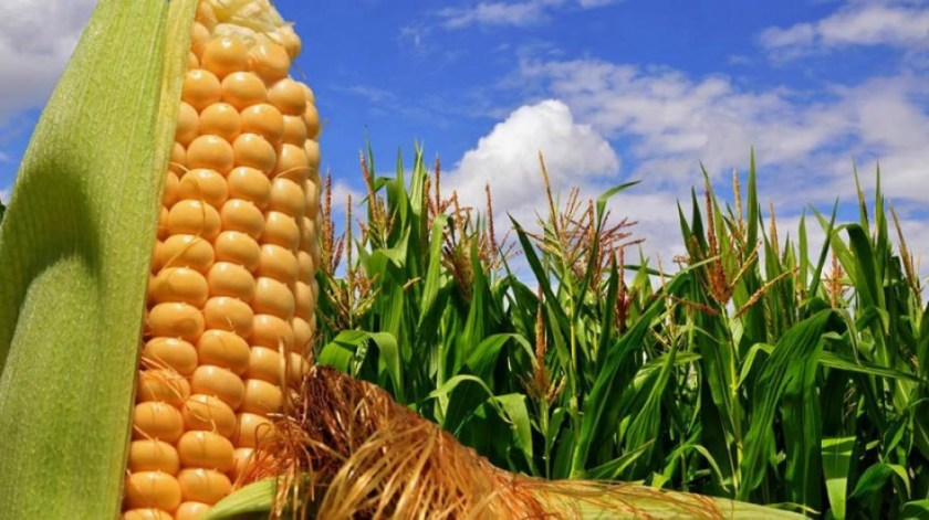 """La BCR remarcó que """"es destacable el estado de los cultivos tardíos en Córdoba y en el centro y norte de Santa Fe. Las expectativas del maíz en Argentina van en suba""""."""