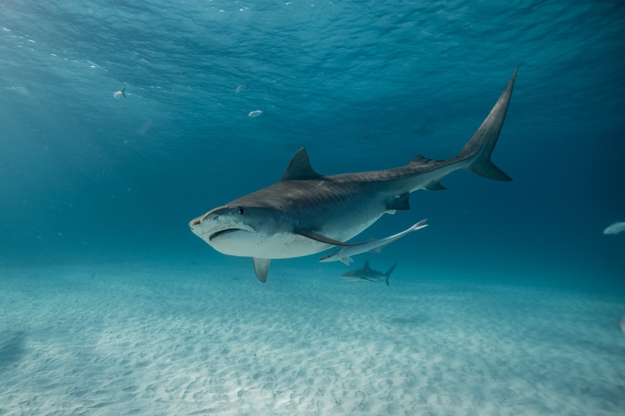 Shark Week, sui canali Discovery protagonista il Megalodonte