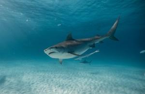 Shark Week Megalodonte