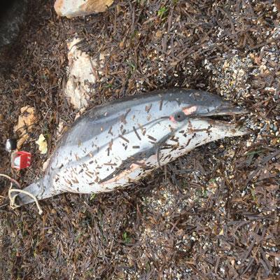 Delfini spiaggiati sulla costa toscana: Arpat fa le indagini