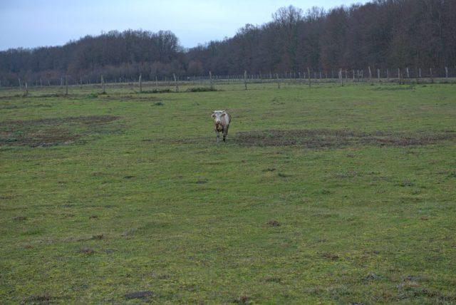 Pronađen je Joza, bik koji je pobjegao na ulazu u klaonicu. Čeka ga lijepi život na farmi, kod udomitelja 1