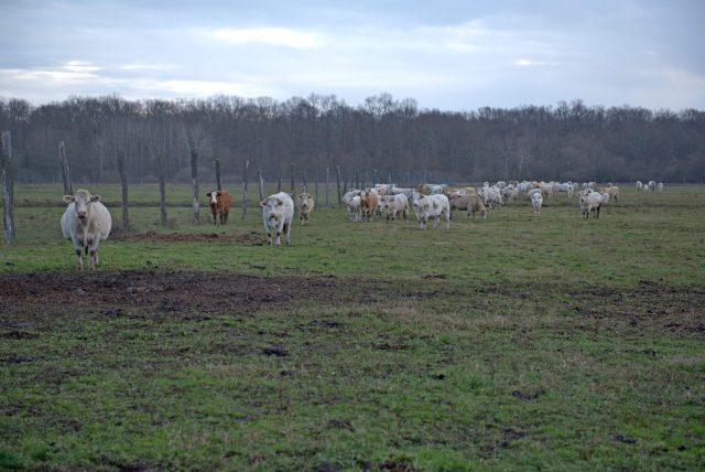 Pronađen je Joza, bik koji je pobjegao na ulazu u klaonicu. Čeka ga lijepi život na farmi, kod udomitelja 3