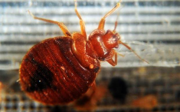 """Unlike mosquitoes that generally only bite once, bedbugs carry on biting until satisfied"""