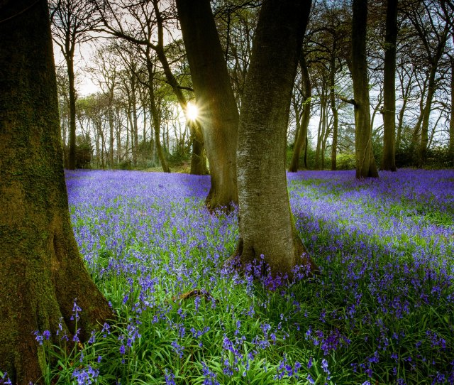 More Than Half The Worlds Bluebell Population Grows In Britain