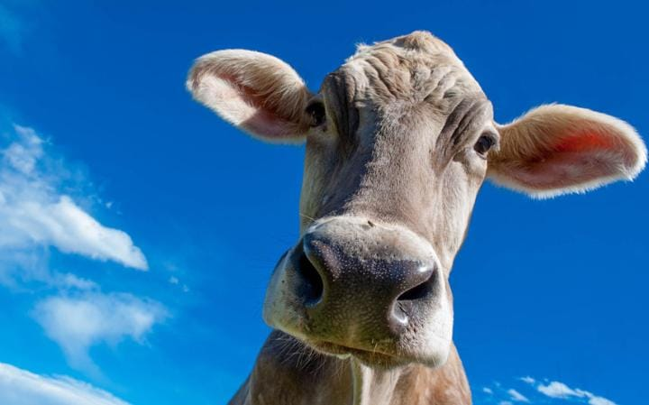 The first cruise ships offered fresh milk, courtesy of a cow slung in a hammock
