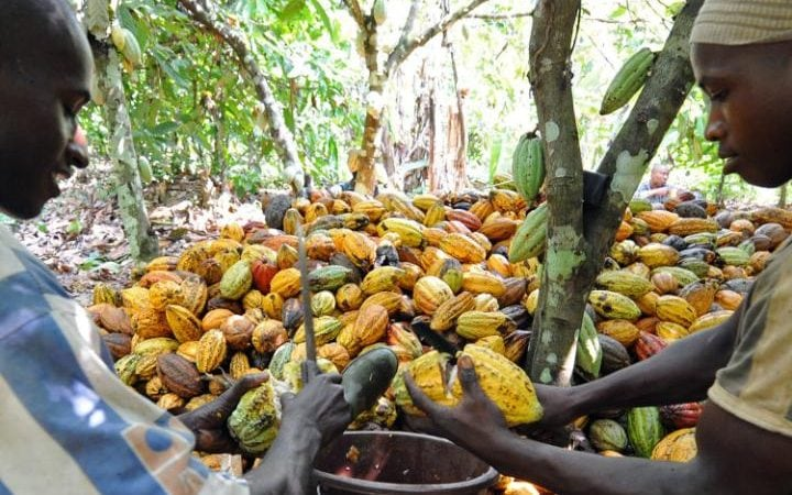 Cocoa farmers working on plantation