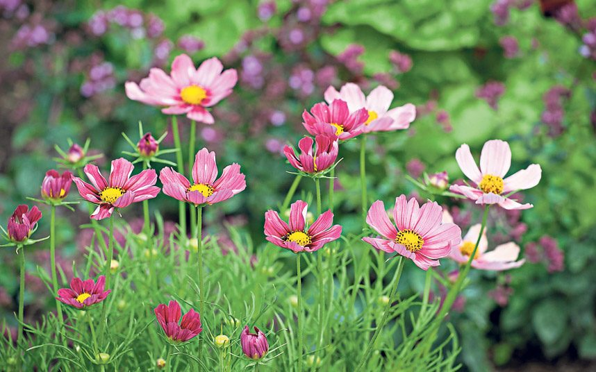 Everything you need to know about cosmos  the flower of 2016   The     Antiquity