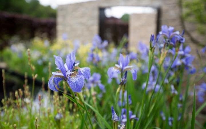 Iris sibirica Tamberg
