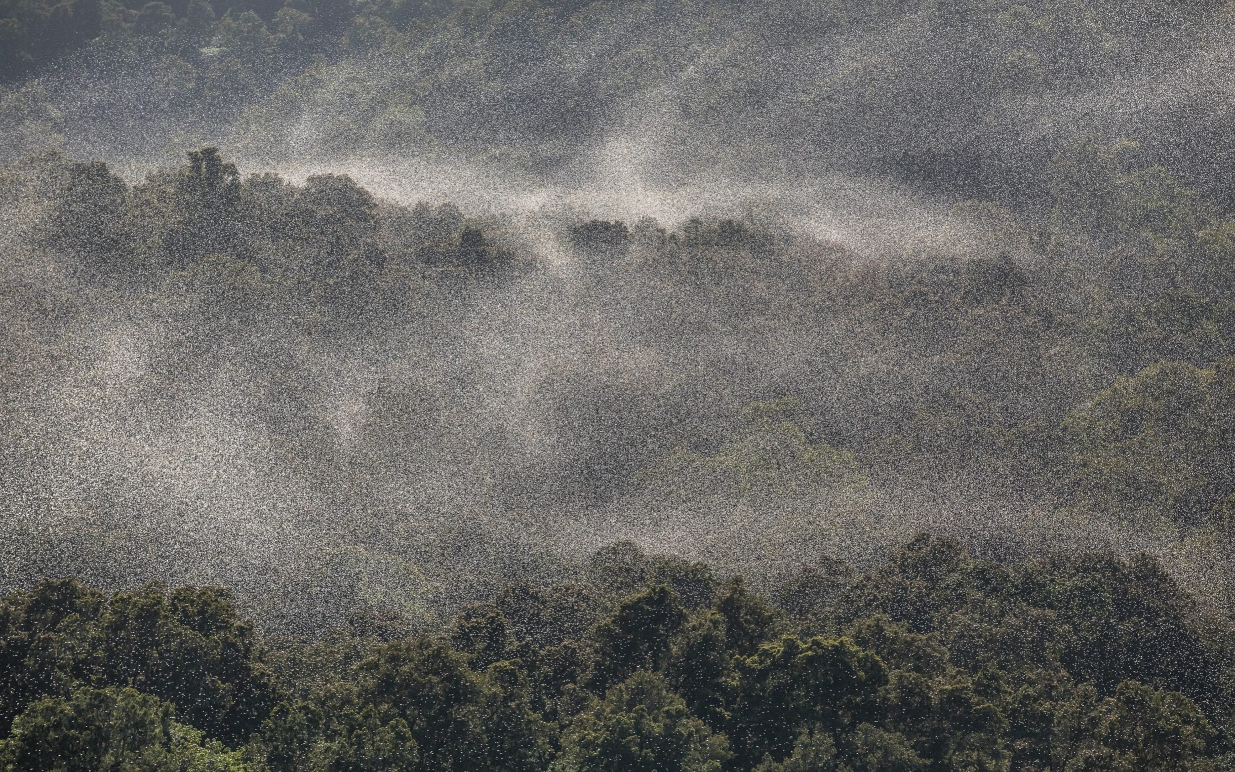 Swarms of locust fly above the forest in Samburu County, Kenya