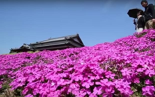 Up to 7,000 people visit the Kurokis' garden on any given day