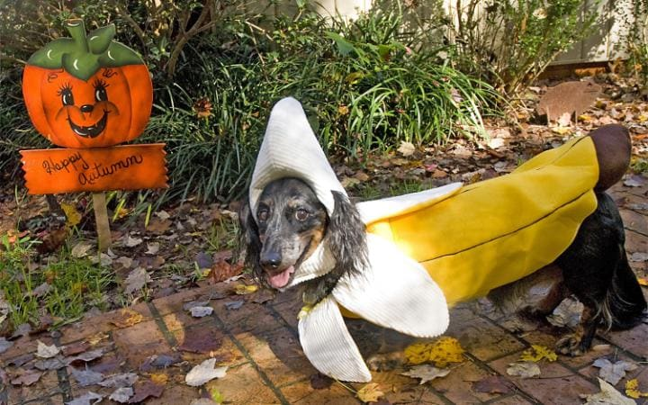 A dog in a banana outfit standing next to a pumpkin sign saying 'happy autumn'
