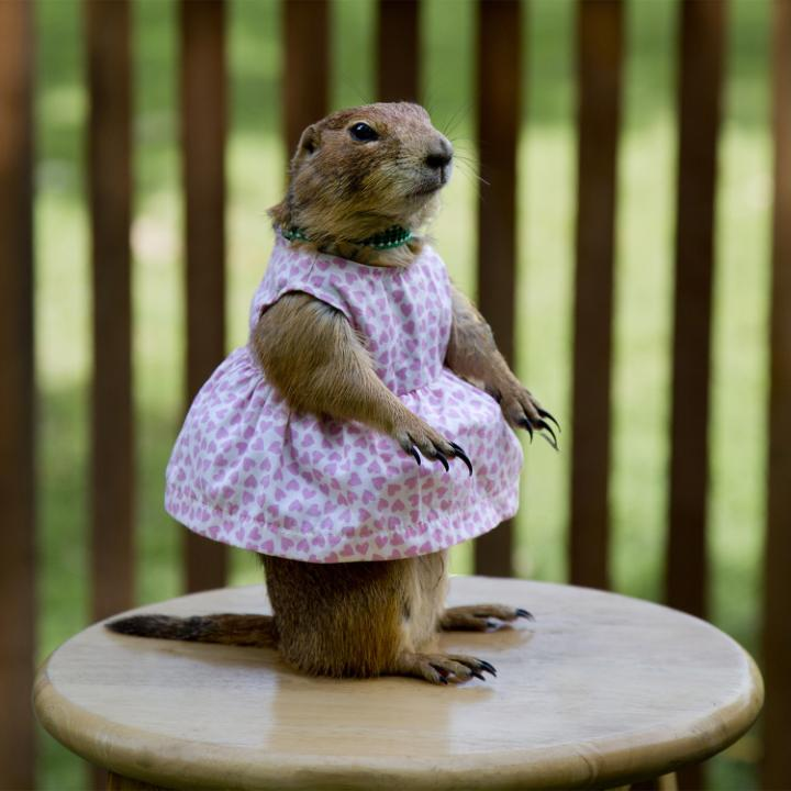 A gopher wearing a white dress with pink hearts on it, and a green bead necklace