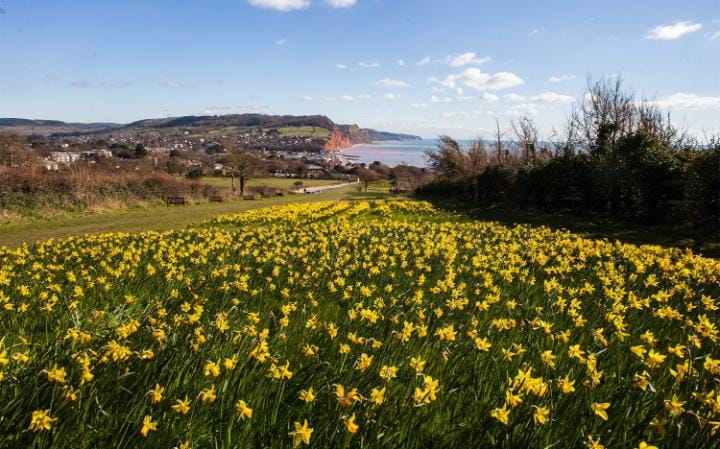 Daffodils planted in Sidmouth, Devon, as part of Keith Owen's £2.3 million bequest