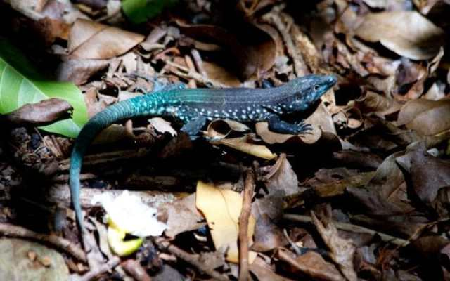The St Lucia Whip Tail lizard