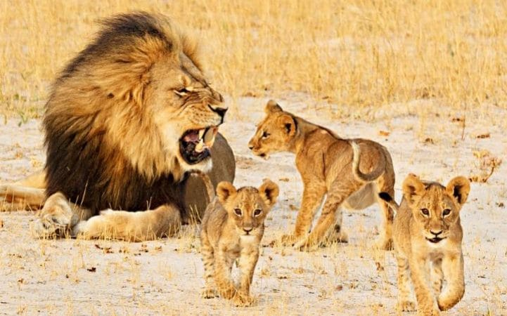 Cecil the Lion with his cubs