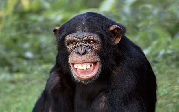 Chimpanzees have cleaner beds than humans, say scientists