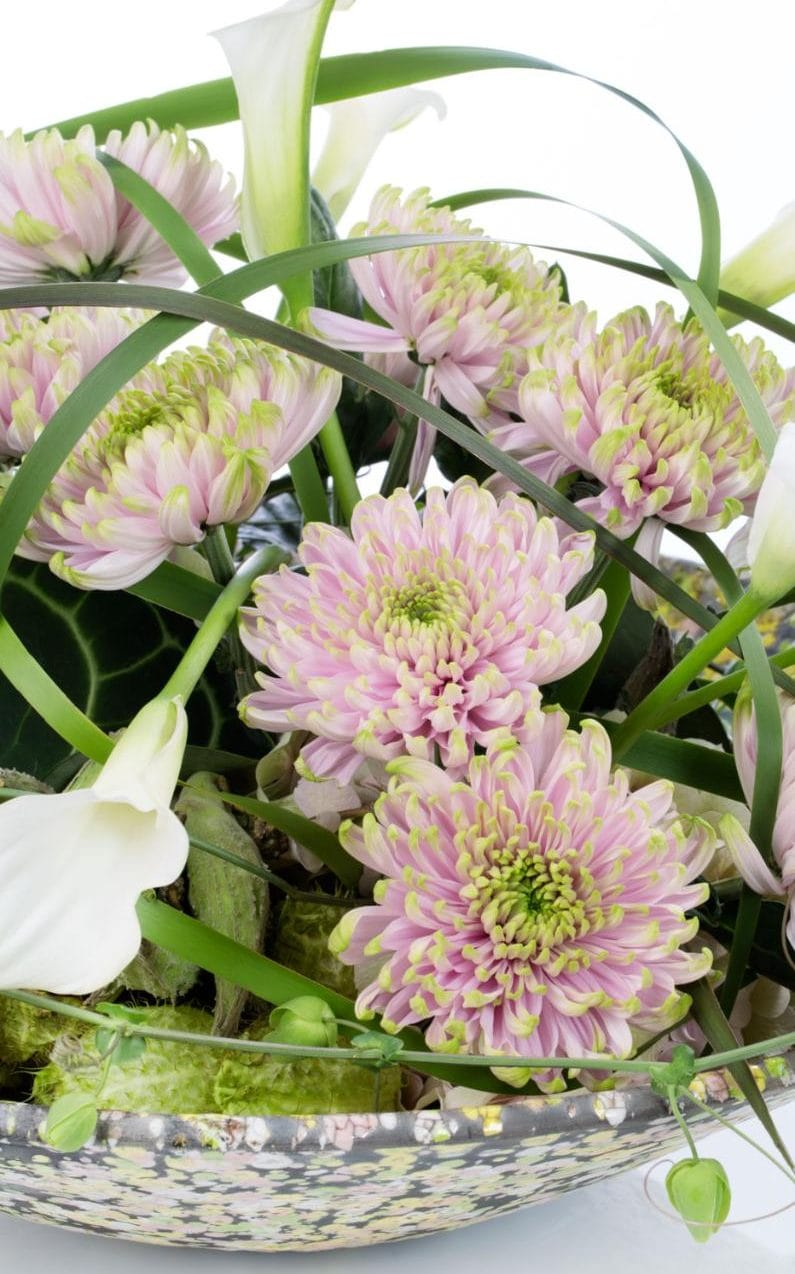 The unique pink and green chrysanthemum produced by Dutch company Deliflor.