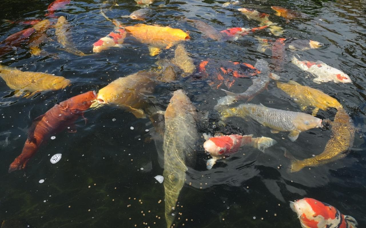 Beautiful Koi Ponds