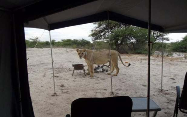 Francie Lubbe and her partner woke up to two lions at their camp