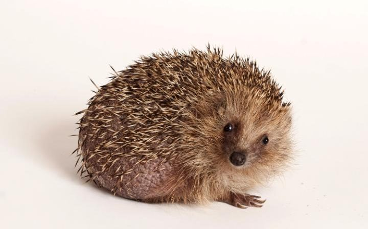 Garden strimmers are causing havoc to Britain's hedgehog population