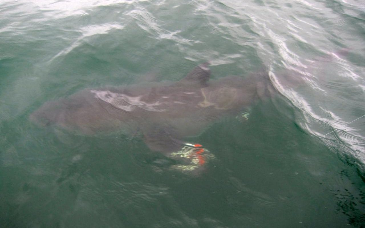 Six Year Old Boy Hooks 12 Foot Great White Shark Off The