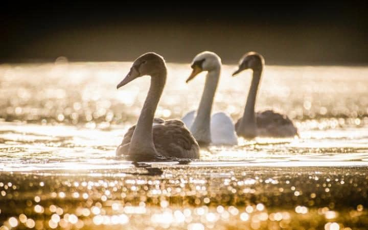 A mother swan and two cygnets swim across the lake in Friday morning's bright sunshine at Golden Acre park in Leeds