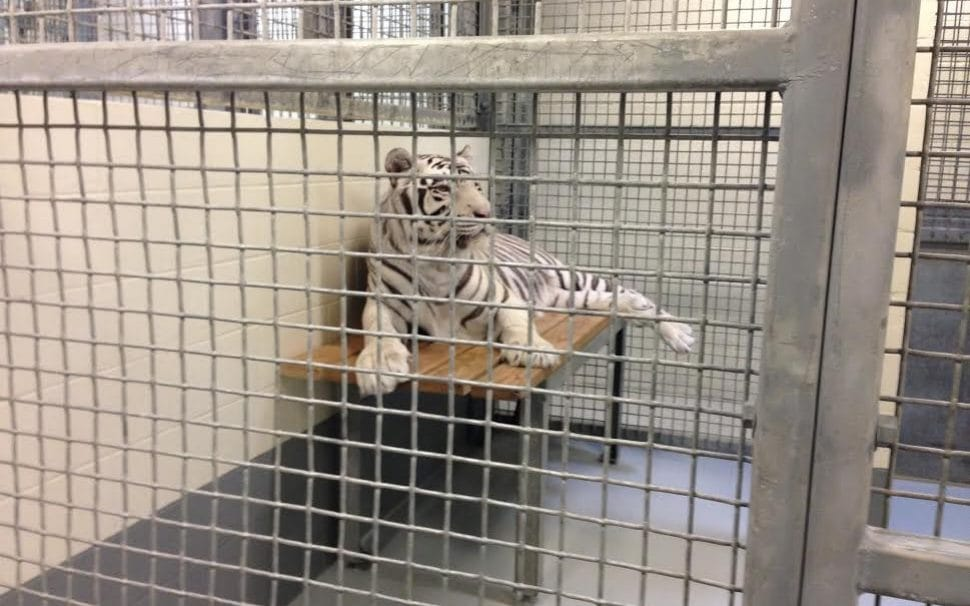 White tigers haven't felt the sun in 12 years after being ...